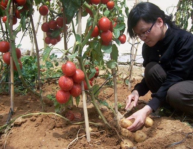 """Đã mắt ngắm cây """"đẻ"""" ra cả khoai tây lẫn cà chua - 10"""