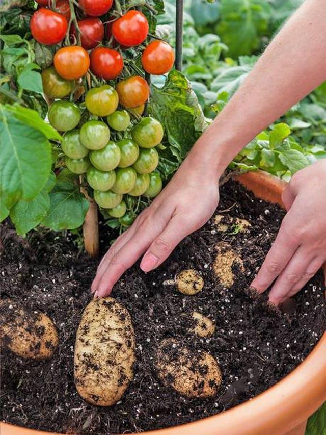 """Đã mắt ngắm cây """"đẻ"""" ra cả khoai tây lẫn cà chua - 2"""