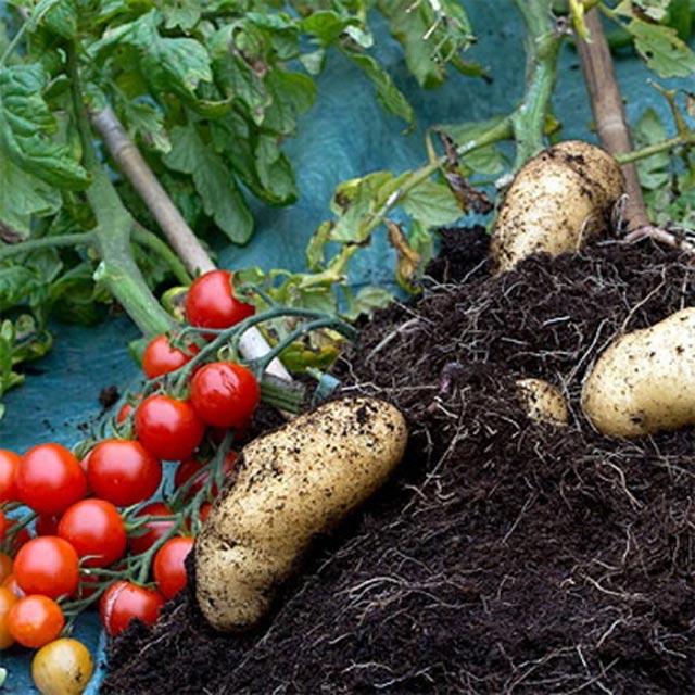 """Đã mắt ngắm cây """"đẻ"""" ra cả khoai tây lẫn cà chua - 3"""