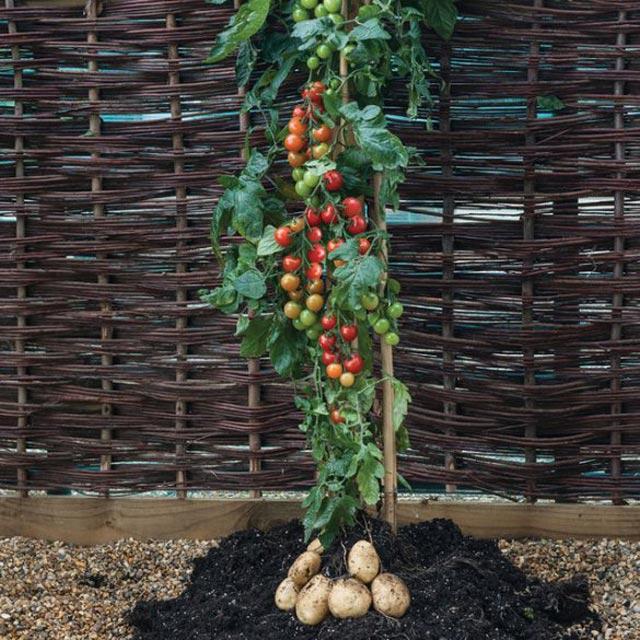 """Đã mắt ngắm cây """"đẻ"""" ra cả khoai tây lẫn cà chua - 4"""