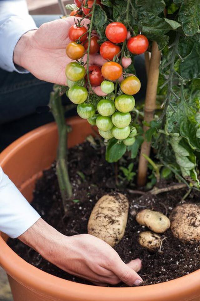 """Đã mắt ngắm cây """"đẻ"""" ra cả khoai tây lẫn cà chua - 5"""