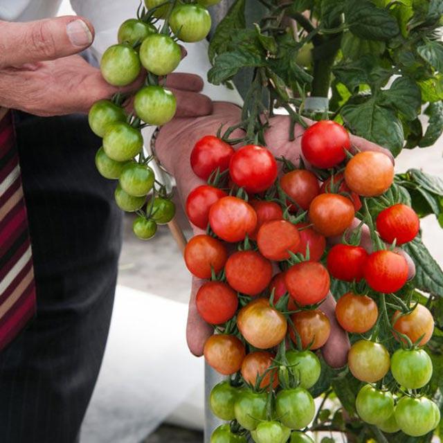 """Đã mắt ngắm cây """"đẻ"""" ra cả khoai tây lẫn cà chua - 6"""