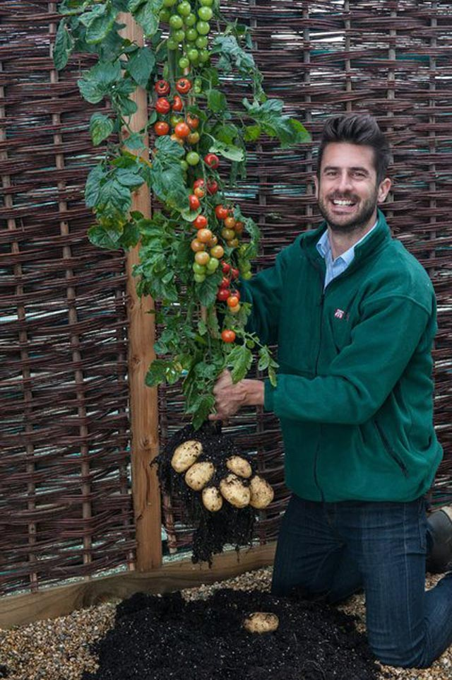 """Đã mắt ngắm cây """"đẻ"""" ra cả khoai tây lẫn cà chua - 7"""