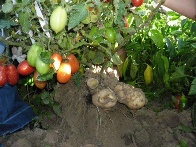 """Đã mắt ngắm cây """"đẻ"""" ra cả khoai tây lẫn cà chua - 8"""