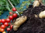 """Thị trường - Tiêu dùng - Đã mắt ngắm cây """"đẻ"""" ra cả khoai tây lẫn cà chua"""