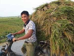 Tin tức trong ngày - Chùm ảnh: Nông dân hớt hải gặt lúa chạy đua bão Cầu Vồng