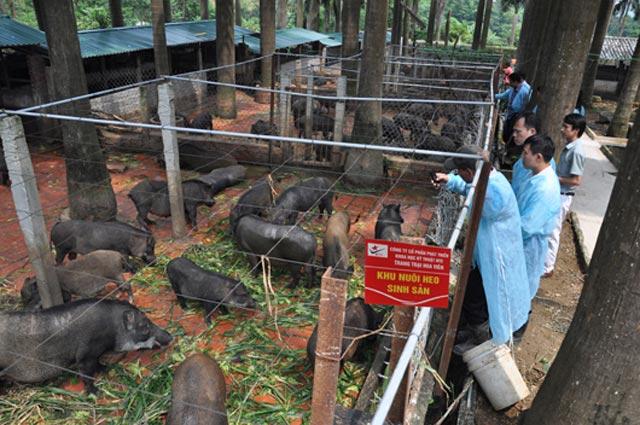 Cận cảnh trang trại lợn rừng hữu cơ độc đáo ở VN - 1