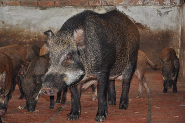 Cận cảnh trang trại lợn rừng hữu cơ độc đáo ở VN - 10