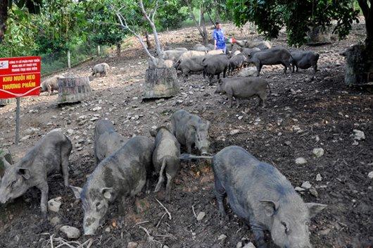 Cận cảnh trang trại lợn rừng hữu cơ độc đáo ở VN - 3