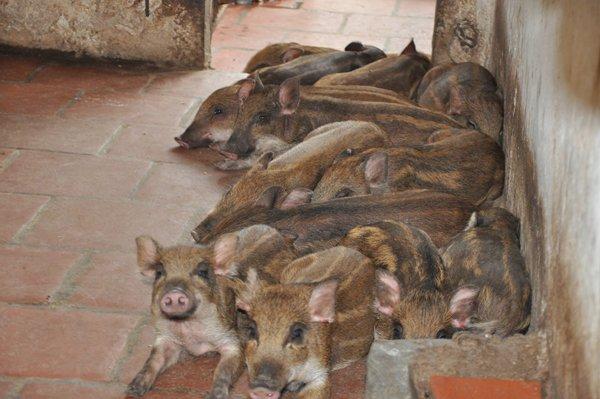 Cận cảnh trang trại lợn rừng hữu cơ độc đáo ở VN - 4