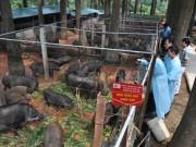 Thị trường - Tiêu dùng - Cận cảnh trang trại lợn rừng hữu cơ độc đáo ở VN