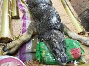 Quái vật lai cá sấu và trâu gây hoang mang ở Thái Lan