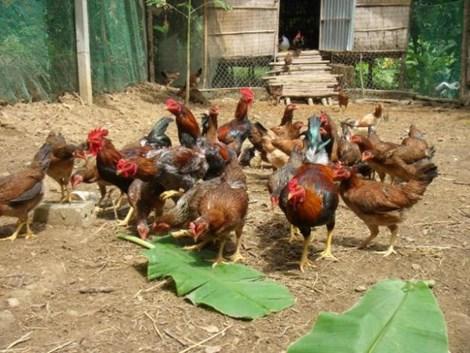 Phát hiện chất tạo màu vàng trong thịt gà có thể gây ung thư - 2