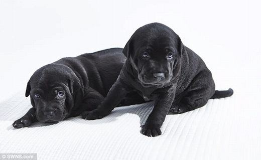 Chó Phú Quốc 340 triệu/con có gì đặc biệt? - 1