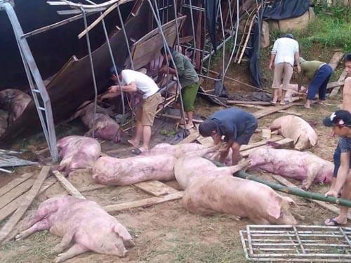 Lật xe tải, dân trắng đêm giúp tài xế vây bắt lợn - 1