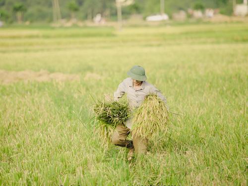 """Tìm về làng quê thanh bình với bộ ảnh """"Mùa gặt"""" - 1"""