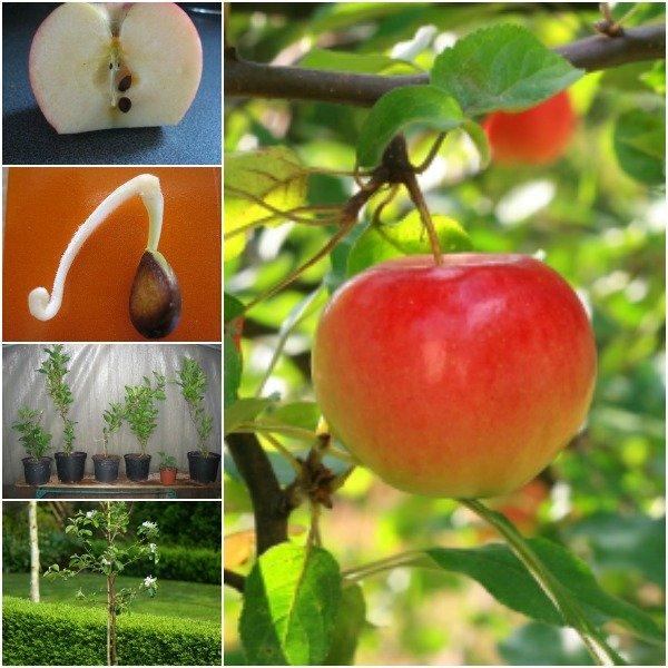 """""""Tuyệt chiêu"""" trồng táo trong chậu sai trĩu quả - 1"""