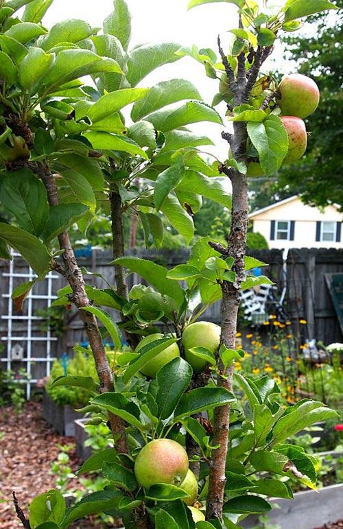"""""""Tuyệt chiêu"""" trồng táo trong chậu sai trĩu quả - 13"""