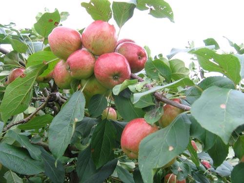 """""""Tuyệt chiêu"""" trồng táo trong chậu sai trĩu quả - 14"""