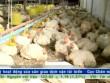 Bản tin tài chính kinh doanh 9/10: Gà nội khó cạnh tranh với gà ngoại