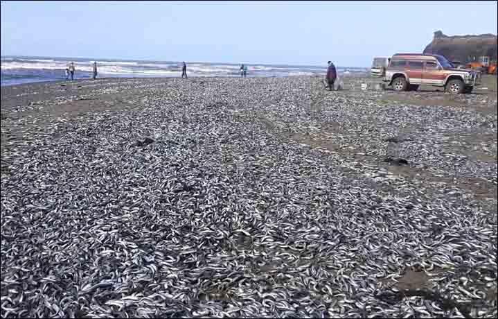 Cá chết trắng bờ biển Nga - 1