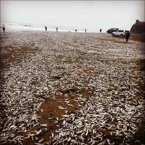 Cá chết trắng bờ biển Nga - 2