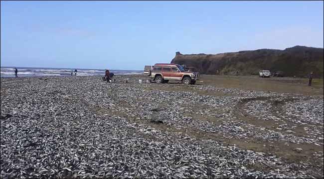 Cá chết trắng bờ biển Nga - 5