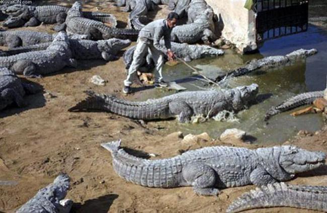 Cá sấu hiền lắm, em chọc chúng nó suốt ngày mà.