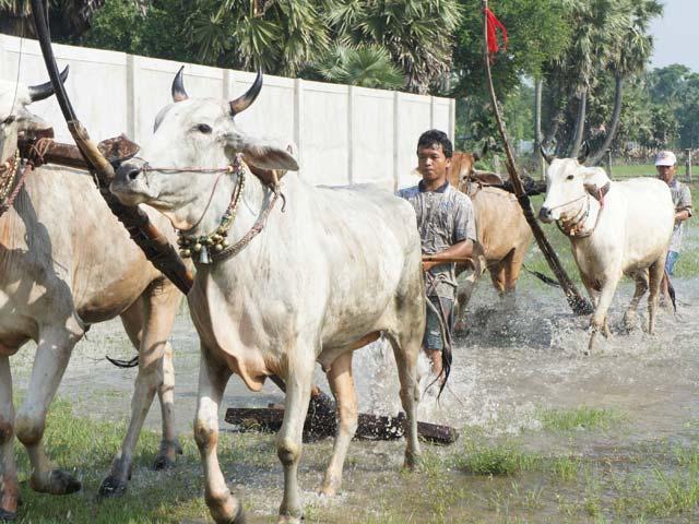 Phum sóc rộn ràng luyện bò đua vùng Bảy Núi - 1