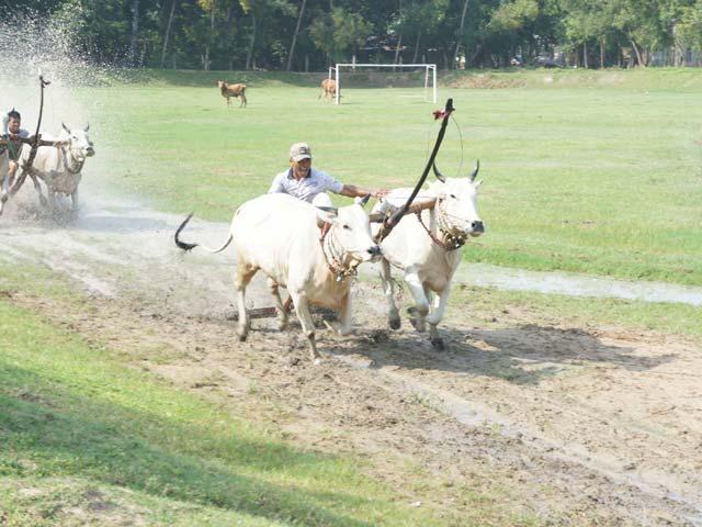 Phum sóc rộn ràng luyện bò đua vùng Bảy Núi - 2