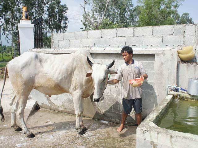 Phum sóc rộn ràng luyện bò đua vùng Bảy Núi - 3
