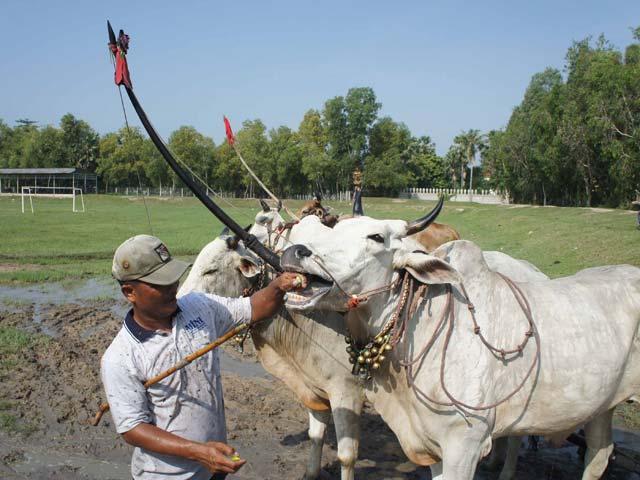 Phum sóc rộn ràng luyện bò đua vùng Bảy Núi - 4