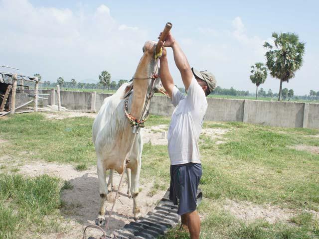 Phum sóc rộn ràng luyện bò đua vùng Bảy Núi - 5