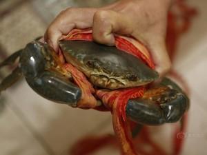 TQ: Quấn 31m dây để tăng cân nặng cho cua biển