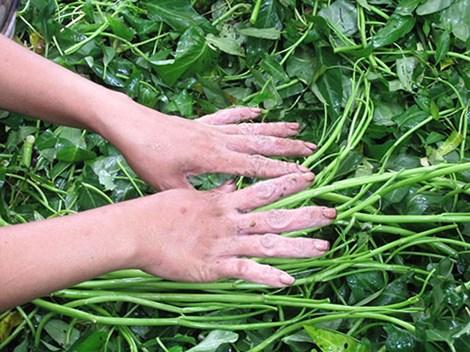 """Đôi bàn tay """"biến dạng"""" vì nhặt rau muống thuê - 2"""