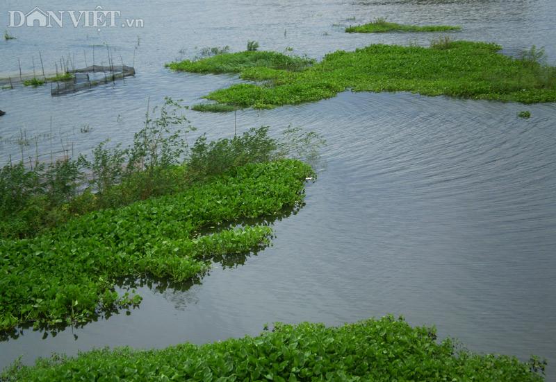 Hoa tím lục bình trên sông nước miền Tây - 1