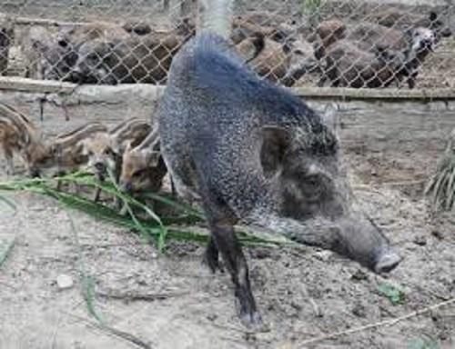 9X nuôi lợn rừng Thái Lan thu hàng tỷ đồng - 2