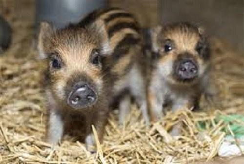 9X nuôi lợn rừng Thái Lan thu hàng tỷ đồng - 4