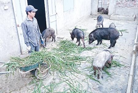 9X nuôi lợn rừng Thái Lan thu hàng tỷ đồng - 1