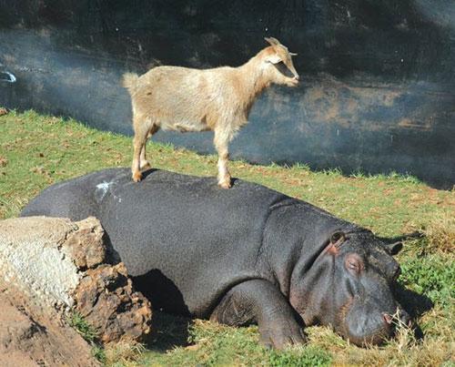 Hiện tượng lạ: Khi các loài động vật…cưỡi lên lưng nhau - 11