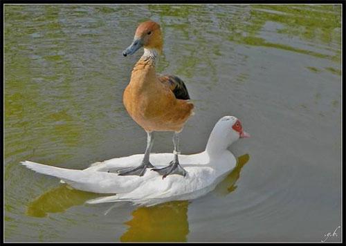 Hiện tượng lạ: Khi các loài động vật…cưỡi lên lưng nhau - 6