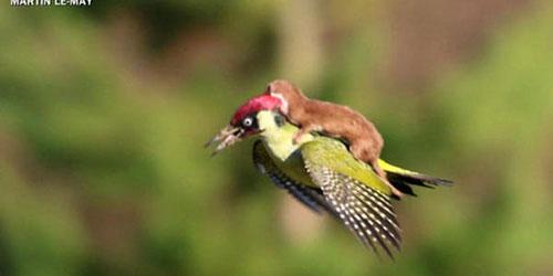 Hiện tượng lạ: Khi các loài động vật…cưỡi lên lưng nhau - 2