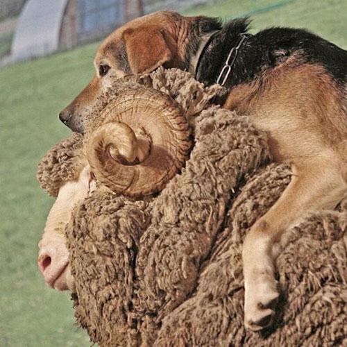 Hiện tượng lạ: Khi các loài động vật…cưỡi lên lưng nhau - 8