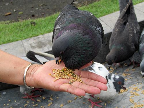 Video: Vui đùa cùng chim bồ câu giữa lòng Sài Gòn - 2