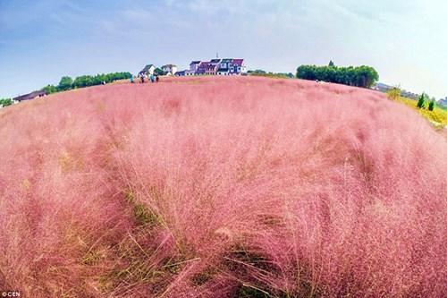 Giới trẻ mê mẩn cánh đồng cỏ hồng đẹp như mơ - 1