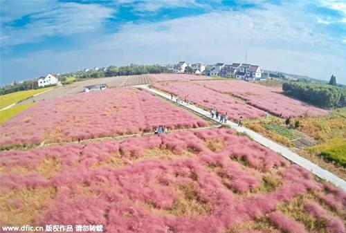 Giới trẻ mê mẩn cánh đồng cỏ hồng đẹp như mơ - 2
