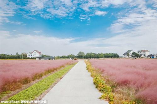 Giới trẻ mê mẩn cánh đồng cỏ hồng đẹp như mơ - 3