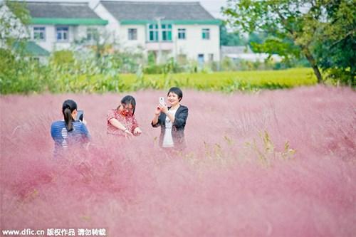Giới trẻ mê mẩn cánh đồng cỏ hồng đẹp như mơ - 7