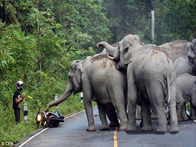 Thái Lan: Người đi xe máy quỳ lạy xin voi tha mạng - 1