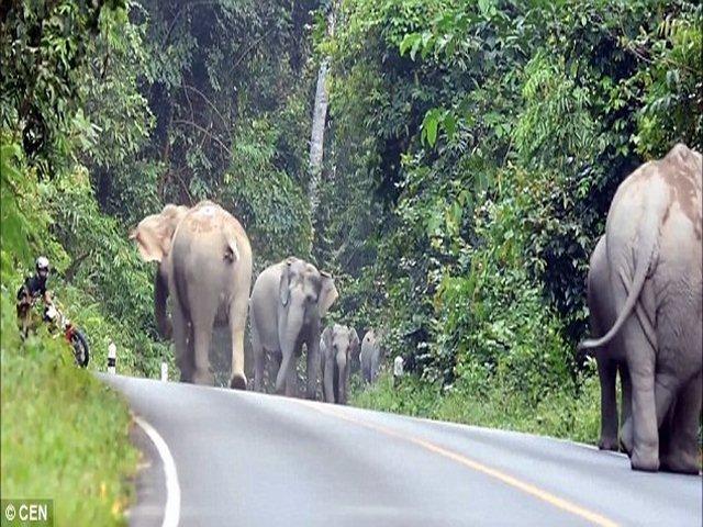 Thái Lan: Người đi xe máy quỳ lạy xin voi tha mạng - 3